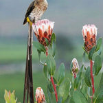 Cape Sugarbird, Promerops cafer