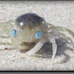 Blue eyed crab