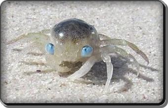 Blue eyed crab