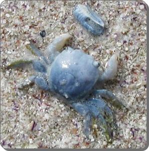 Columbus crab