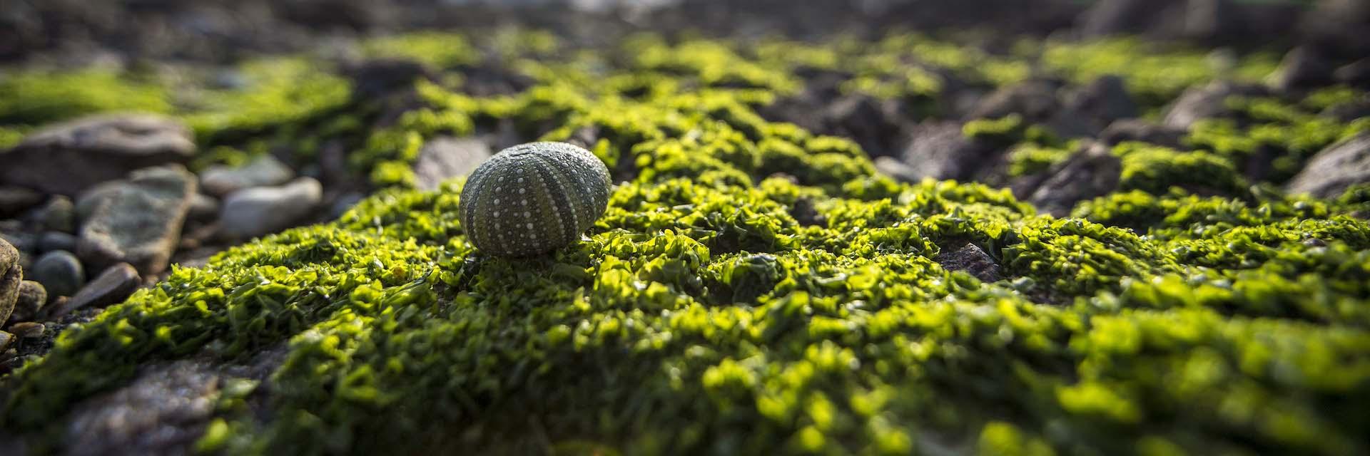 Green shell on the Perlemoen Trail