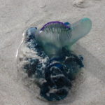 Blue Bottle or Portuguese Man-o-War