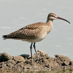 Common Whimbrel