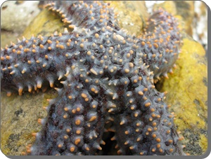 Dark spiny starfish