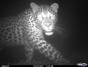 Cape Leopard at Flower Valley Overberg
