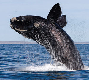 Southern Right Whale breaching in Walker Bay South Africa