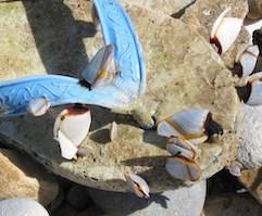 Yellow-rimmed goose barnacle Lepas anatifera